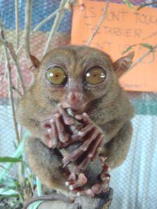 Bohol tarsier smile